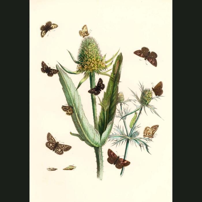 Fine art print for sale. Skipper Butterflies On Teasels