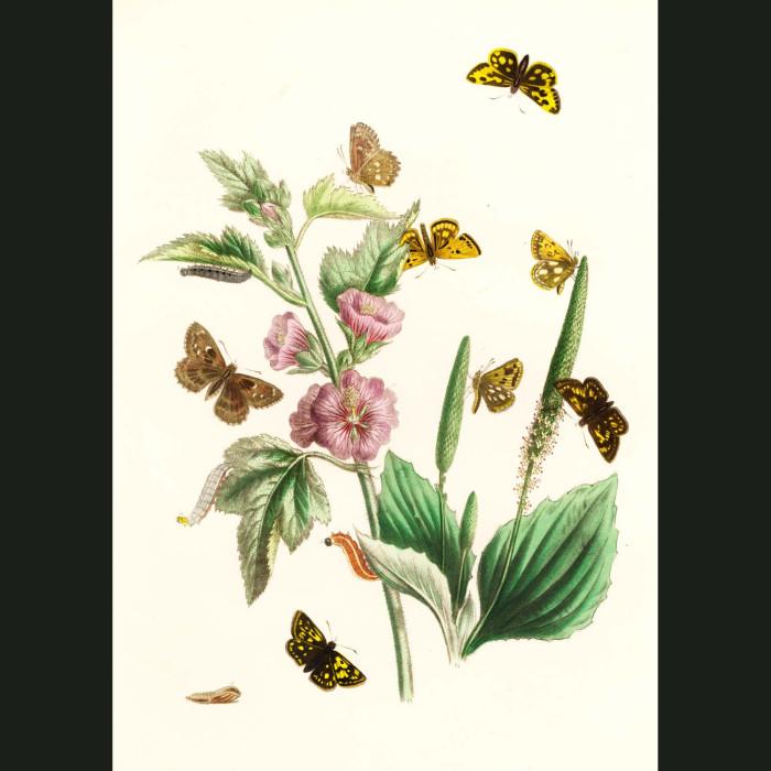 Fine art print for sale. Skipper Butterflies On Mallow Flowers