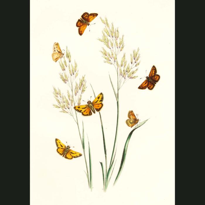 Fine art print for sale. Skipper Butterflies On Alpine Hair Grass