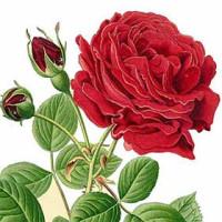 Rose Art