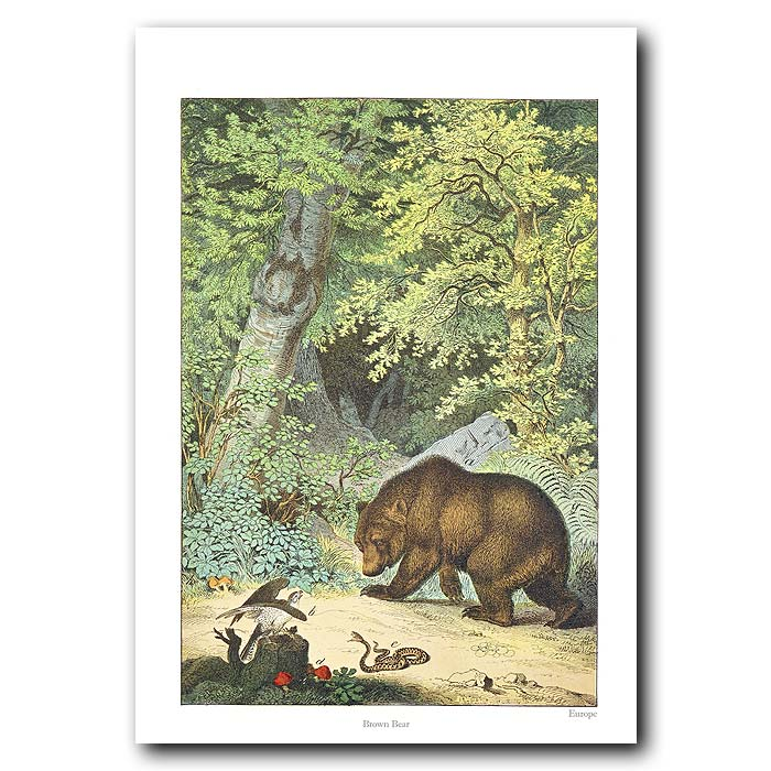 Fine art print for sale. Brown Bear In The Forest