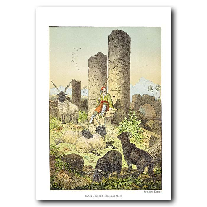 Fine art print for sale. Sheep & Goats In Greece