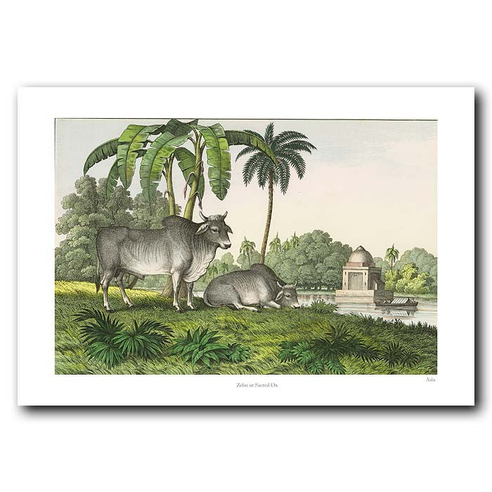 Fine art print for sale. Zebu Or Sacred Ox From India