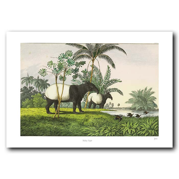 Fine art print for sale. Tapirs From Malaysia