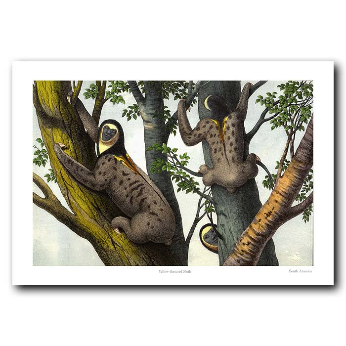 Fine art print for sale. Yellow-Throated Sloth