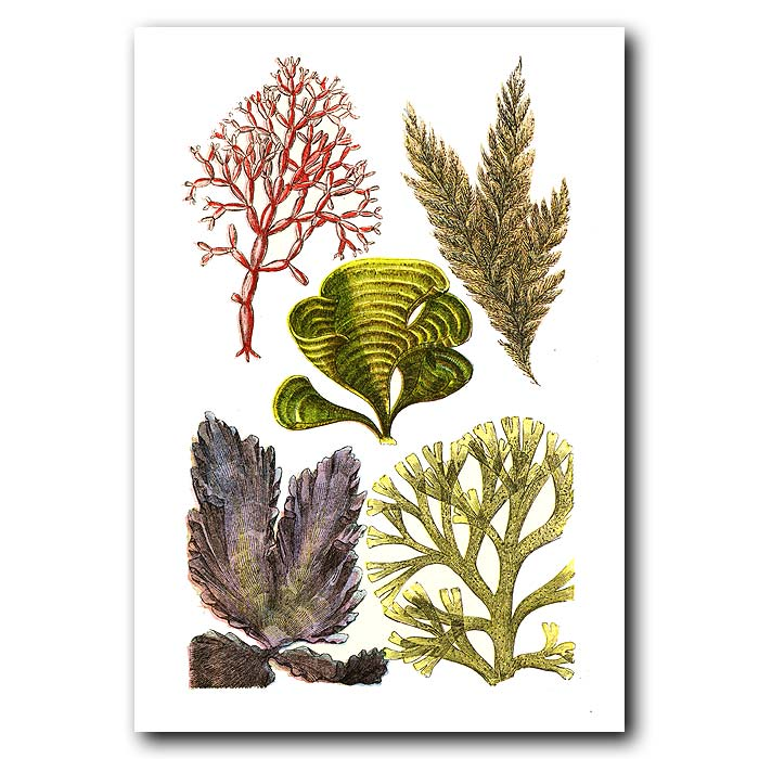 Fine art print for sale. Peacock's Tail Seaweed