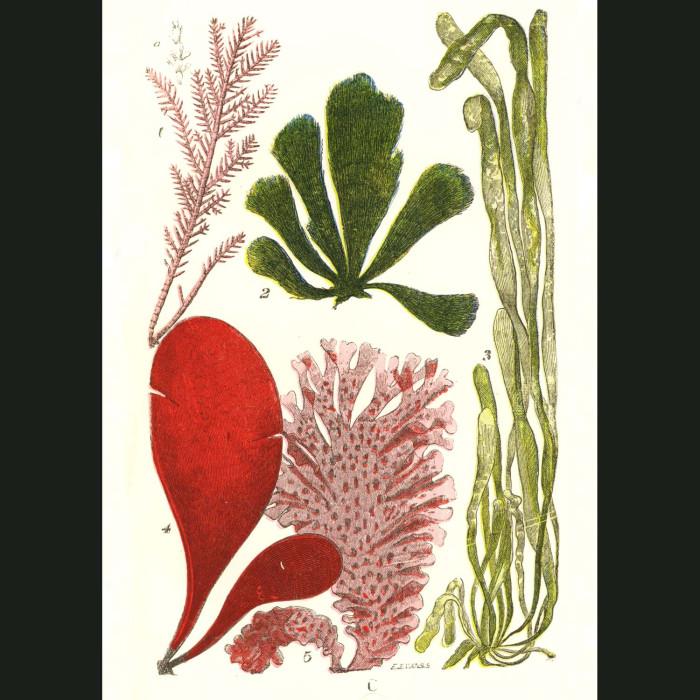 Fine art print for sale. Common Coralline Seaweed
