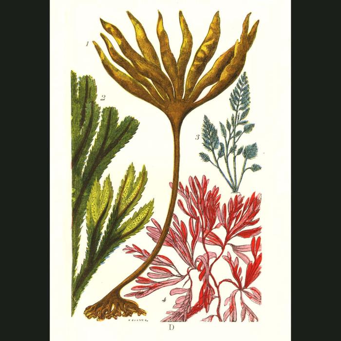 Fine art print for sale. Kelp Seaweed