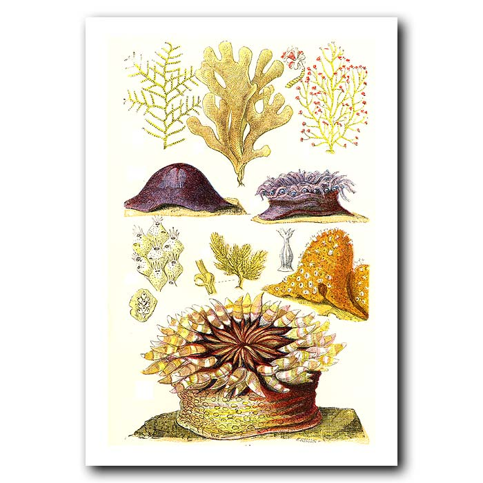 Fine art print for sale. Seaweed And Anemones