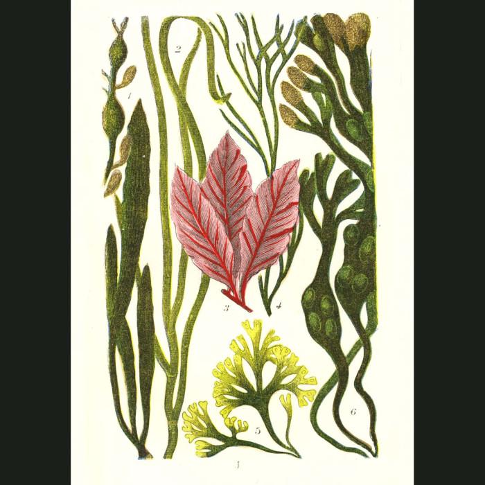 Fine art print for sale. Bladderwrack Seaweed