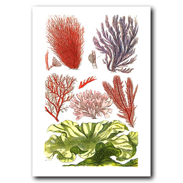 Fine art print for sale. Green Laver & Pink Seaweed
