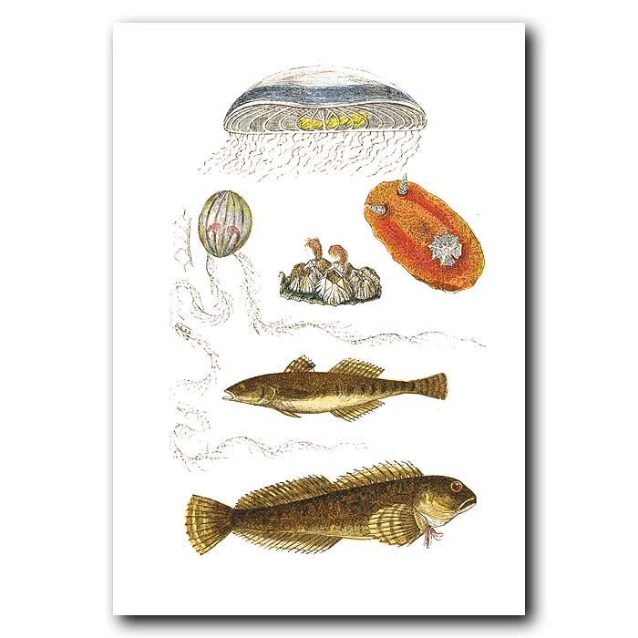 Fine art print for sale. Medusa Jellyfish, Acorn Barnacle, Sea Slug & Spotted Goby
