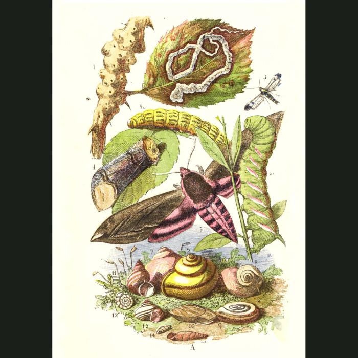 Fine art print for sale. Privet Moth And Caterpillars