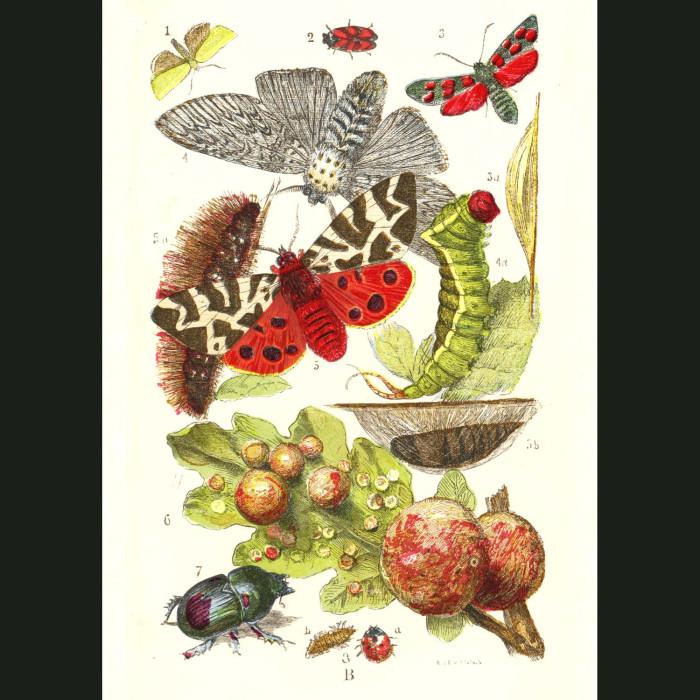 Fine art print for sale. Green Oak Moth & Puss Moth