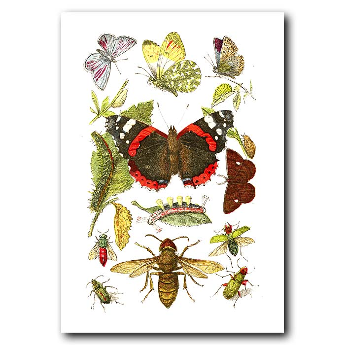 Fine art print for sale. Red Admiral Butterfly & Sun Beetle