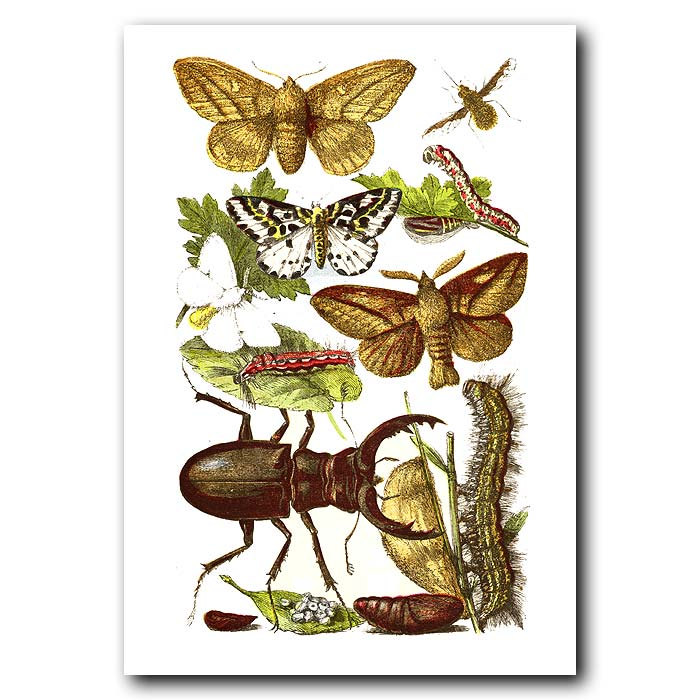 Fine art print for sale. Drinker Moth, Gold-Tailed Moth & Stag Beetle