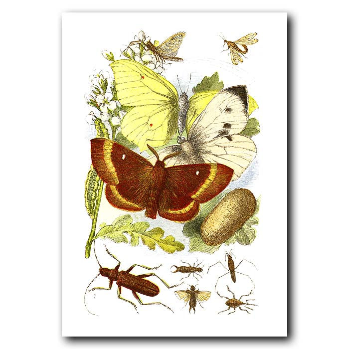 Fine art print for sale. Brimstone Moth