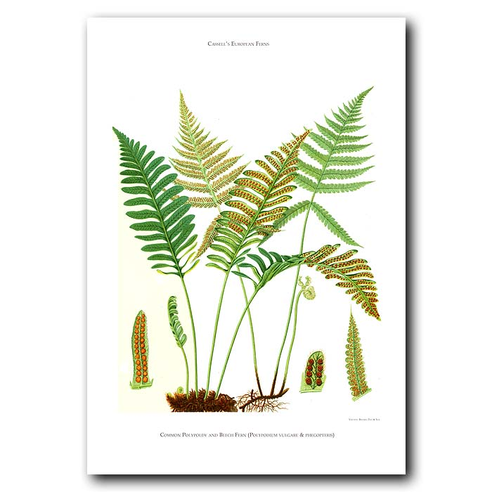 Fine art print for sale. Common Polypoldy And Beech Ferns: Polypodium Vulagre And Pheopteris