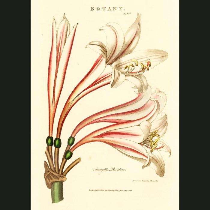 Fine art print for sale. Pink Amaryllis