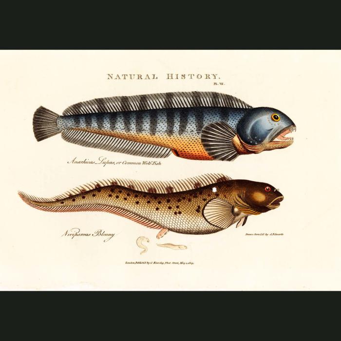Fine art print for sale. Wolf-Fish & Blenny