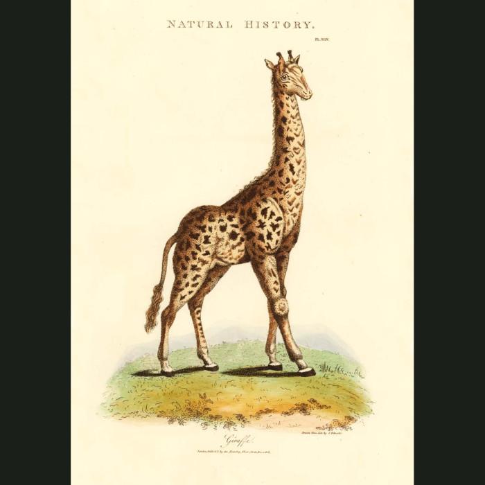 Fine art print for sale. Giraffe