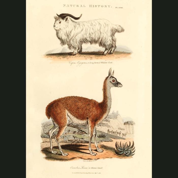 Fine art print for sale. Llama