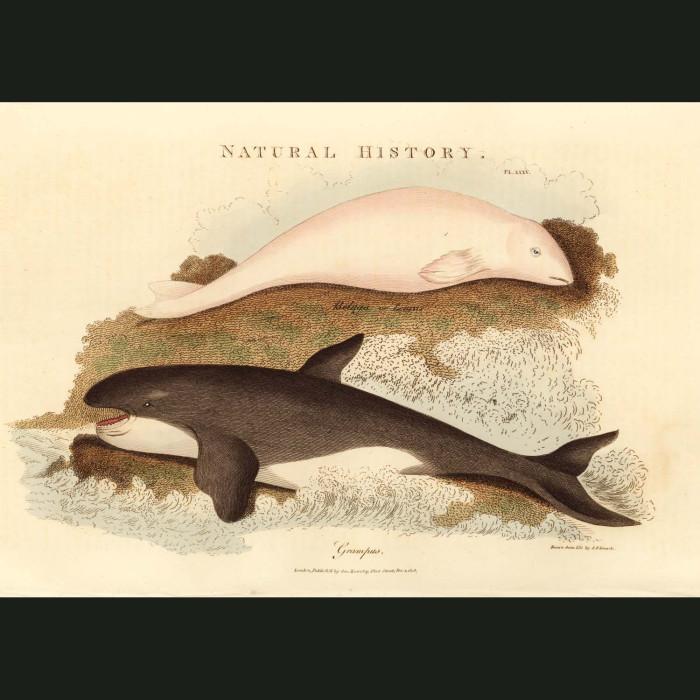 Fine art print for sale. Beluga & Orca Or Killer Whales