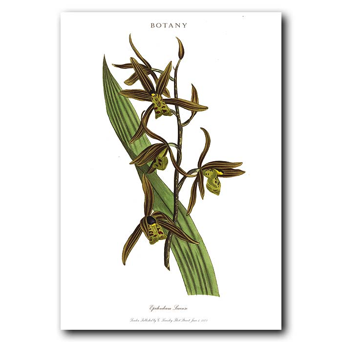 Fine art print for sale. Chinese Epidendrum Orchid
