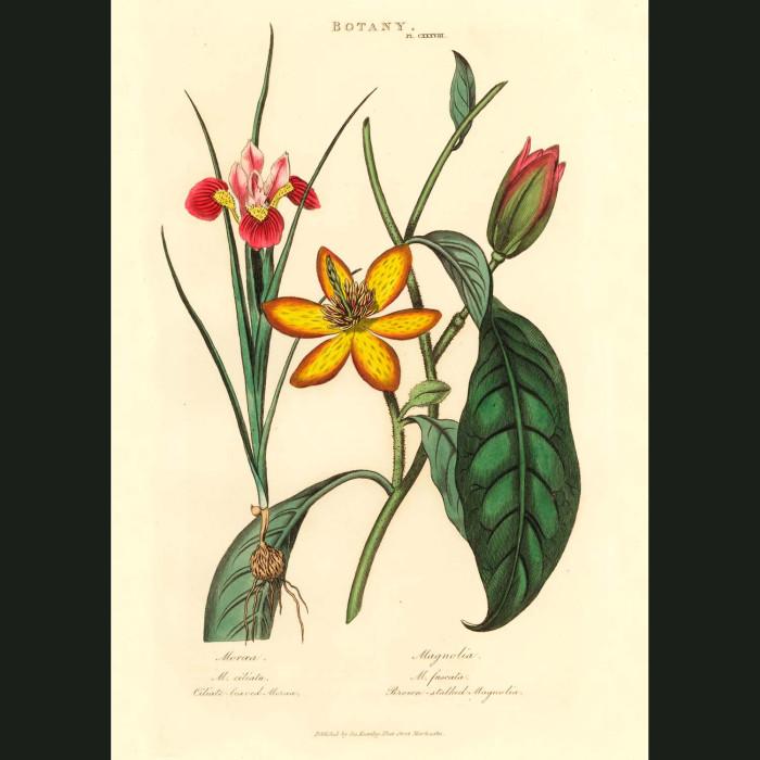 Fine art print for sale. Moroea & Magnolia