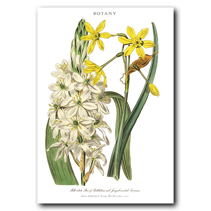 Fine art print for sale. Star Of Bethlehem & Daffodil