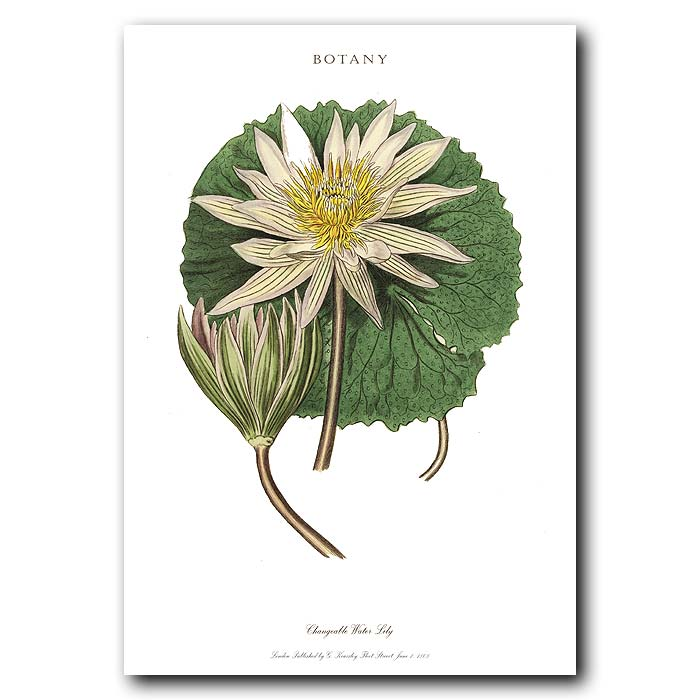 Fine art print for sale. Changeable Water Lily