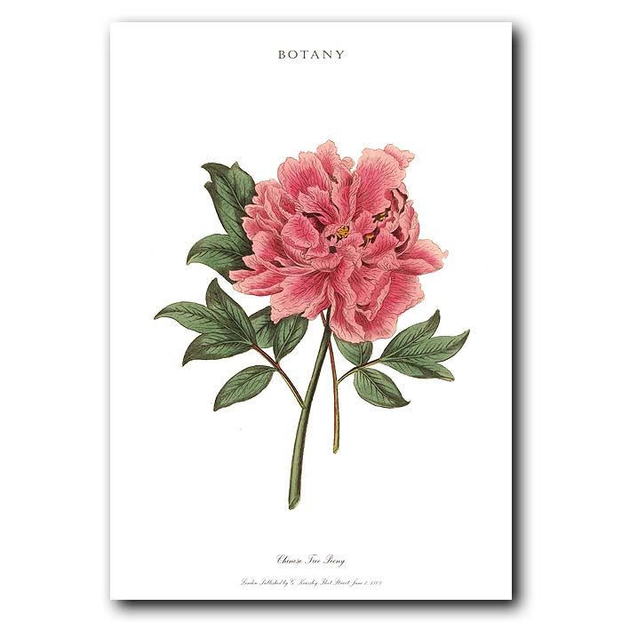 Fine art print for sale. Chinese Tree Peony