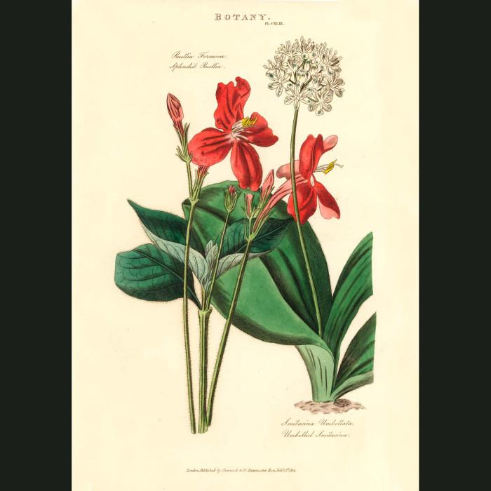 Fine art print for sale. Red Ruella Flower