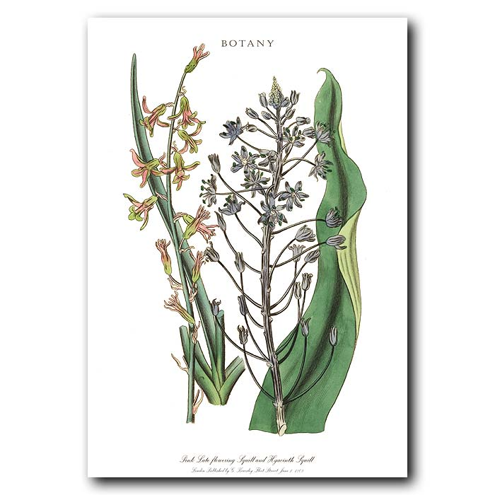 Fine art print for sale. Pink Squill & Hyacinth Squill.