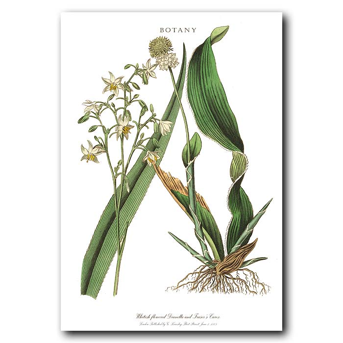 Fine art print for sale. White Dianella & Fraser's Carex.