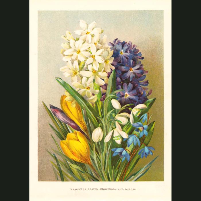 Fine art print for sale. Hyacinth, Crocus, Snowdrop & Scilla