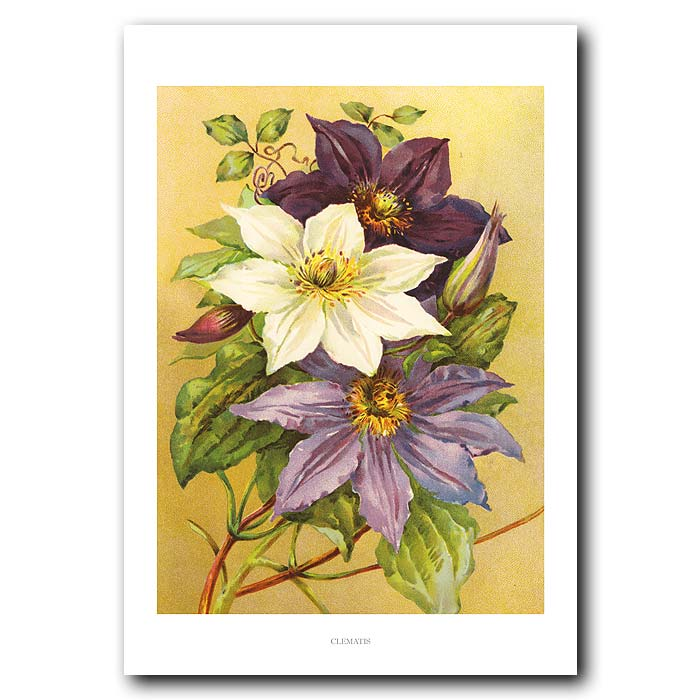 Fine art print for sale. Clematis (Blue, Purple And White)