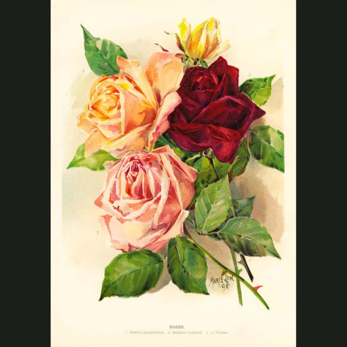 Fine art print for sale. Multicoloured Roses