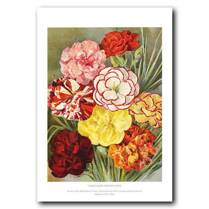 Fine art print for sale. Carnations And Picotees