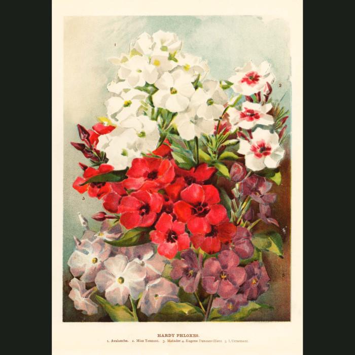 Fine art print for sale. Hardy Phloxes