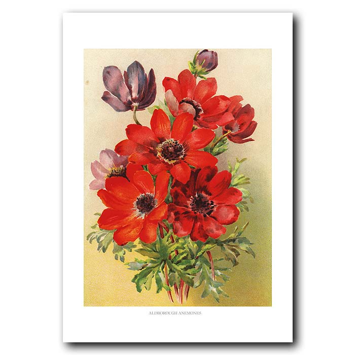 Fine art print for sale. Aldborough Anemones