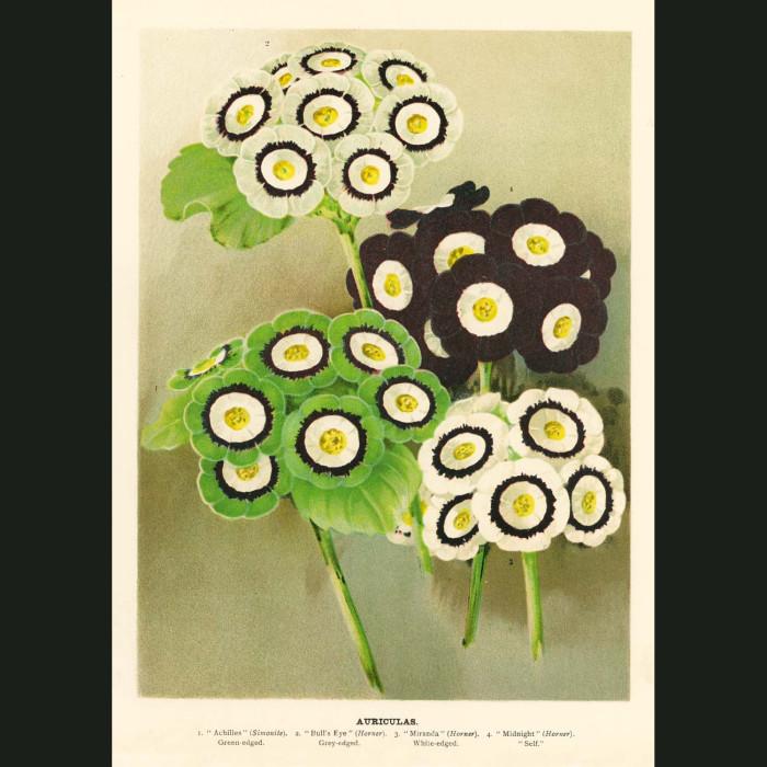 Fine art print for sale. Auriculas