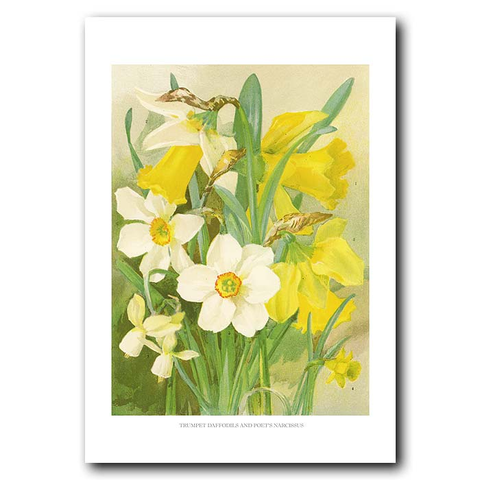 Fine art print for sale. Trumpet Daffodils And Poet's Narcissus