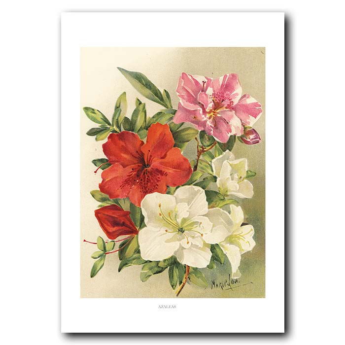 Fine art print for sale. Azaleas