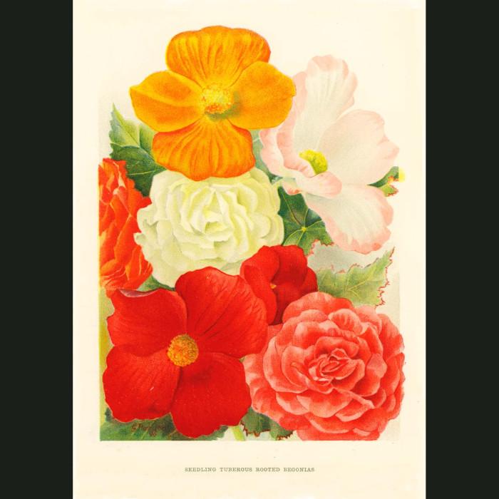 Fine art print for sale. Begonias