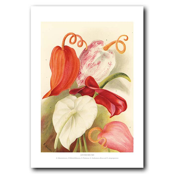 Fine art print for sale. Anthuriums