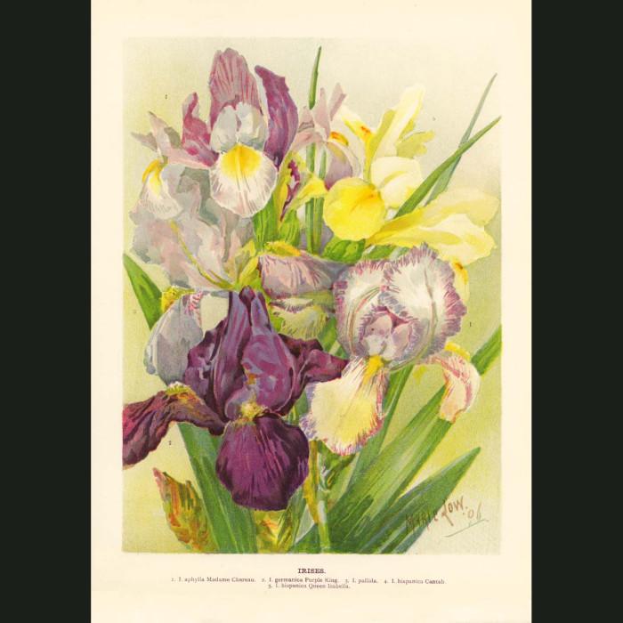 Fine art print for sale. Irises