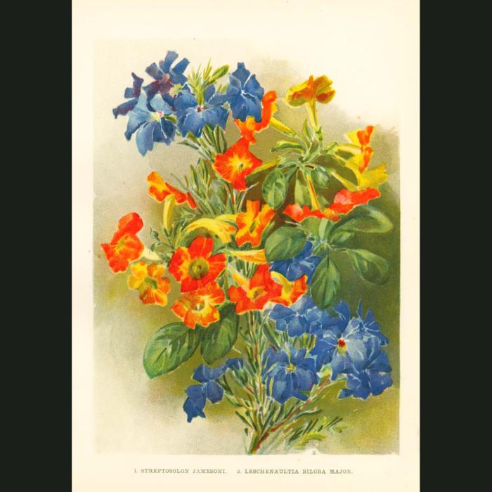 Fine art print for sale. Marmalade Bush