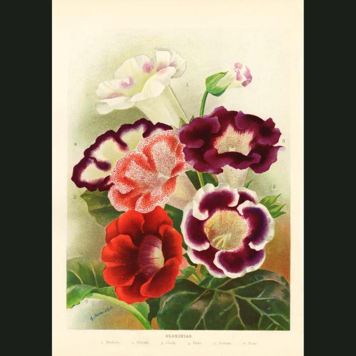Fine art print for sale. Gloxinias