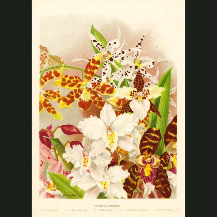 Fine art print for sale. Ondontoglossum Orchids (I)